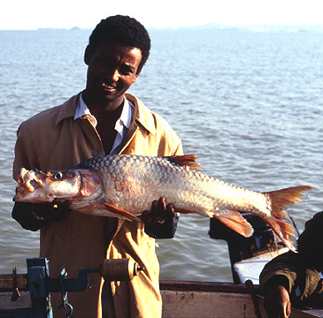 1256_Ferdinand A. Sibbing_Lake Tana Yellowfish_Labeobarbus megastoma.jpg