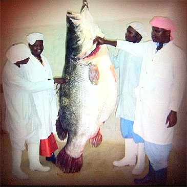 3017_Jeremy Wade_Nile Perch_Lates niloticus.jpg